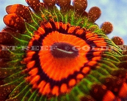 The $500 (Updated: $610) Zoanthid Polyp.