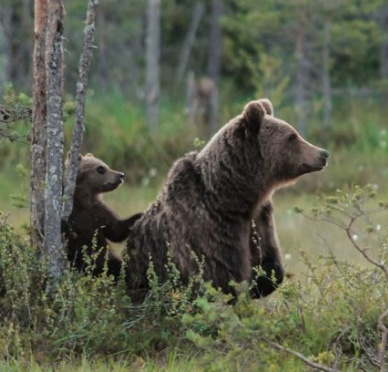 http://www.sciencemag.org/news/2016/06/mother-brown-bears-protect-cubs-human-shields